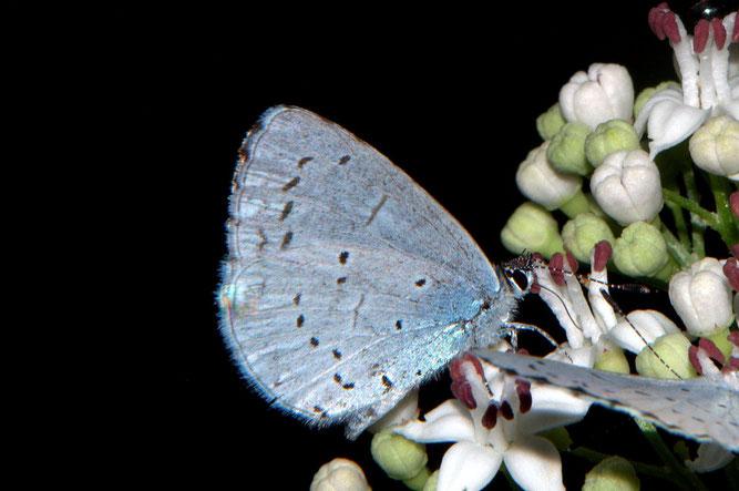Zwerg-Bläuling - kleinster Bläuling Mitteleuropas; Bild R. Mehling