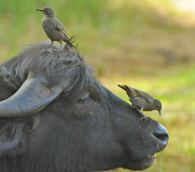 """Bild: D. Haas; Die """"Fliegenhacker"""" vom Federsee auf einem Wasserbüffel. Er lässt sich  von den Staren gerne auf der Nase herum tanzen, da diese lästige Fliegen und Bremsen erbeuten oder verjagen."""
