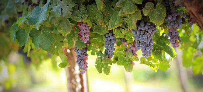 vignes bio à la ferme biologique j'y crois en Charente