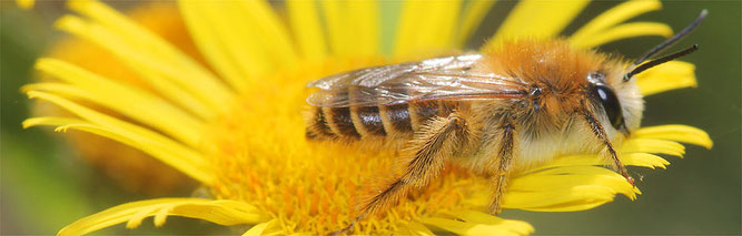Hosenbiene; Foto: Helge May / NABU