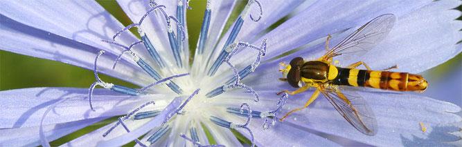 Langbauch-Schwebfliege auf Wegwarte; Foto: Helge May / NABU