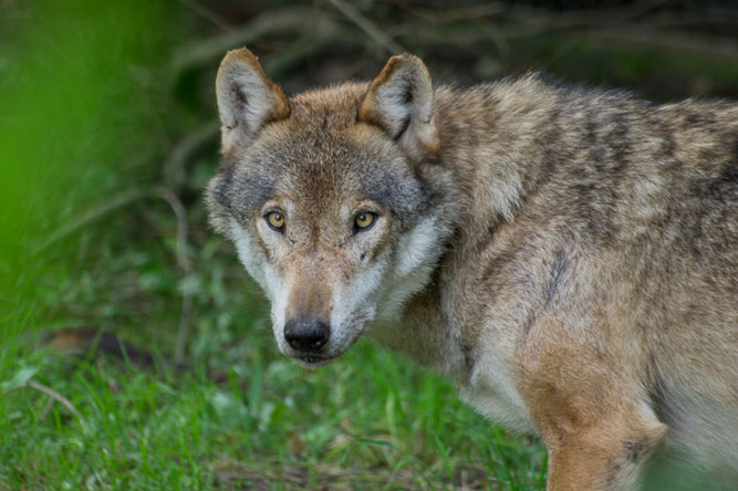 Europäischer Grauwolf - Bild: Tammo Zelle