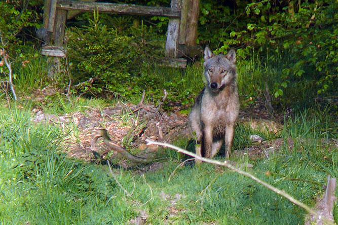 Wolf im Rheinhardswald, Foto: Jochen Doerbecker
