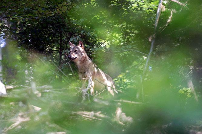 Wolf im Odenwald, Foto: Hans Oppermann