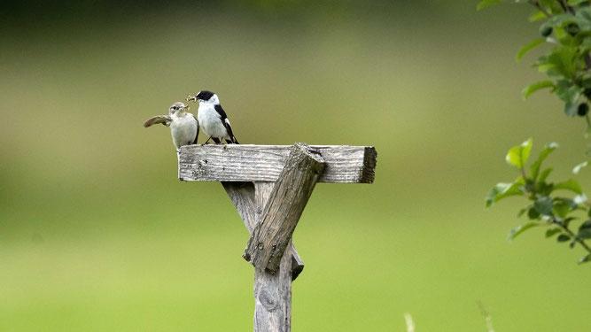 Altvögel mit Futter Fotos NABU B. Etspüler