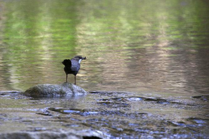 Wasseramsel in der Steinach Foto NABU B. Etspüler