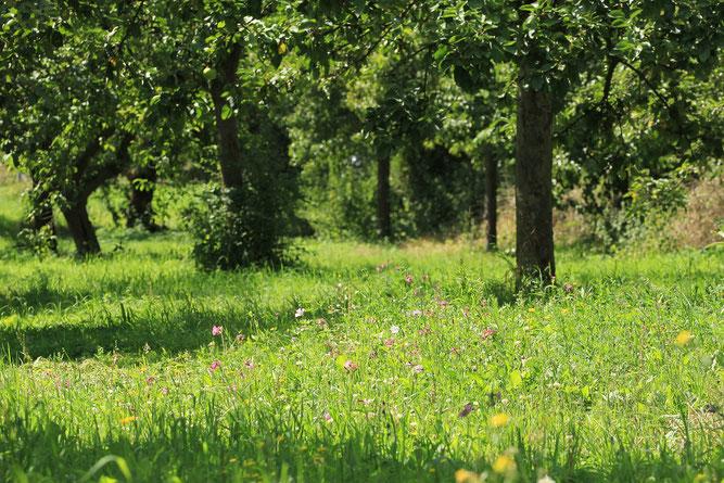 Blumen auf der Streuobstwiese, Foto: Volker Unterladstetter