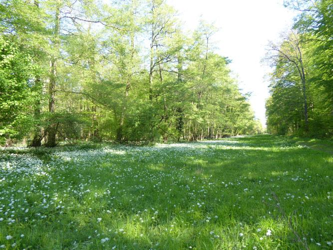 Naturschutzgebiet Niederwald mit Bärlauch
