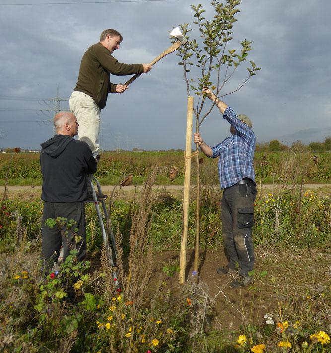Helfer beim Befestigen eines Stützpfahls, Foto NABU GG