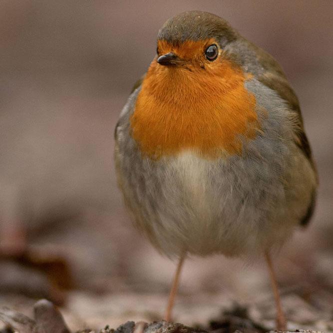 NABU Vogel des Jahres