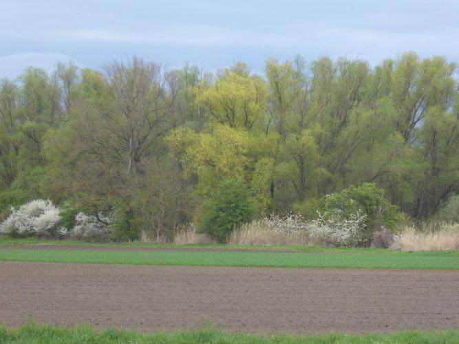 Naturschutzgebiet Kollenbruch Groß-Gerau im Frühling