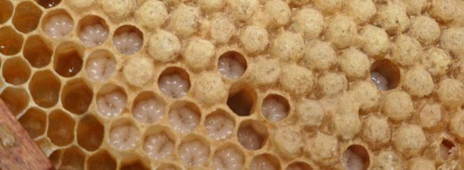 Bienenwabe, Foto: NABU Wiesloch