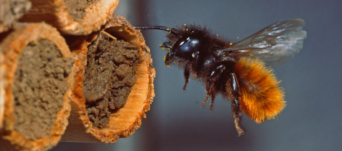 Gehörnte Mauerbiene im Flug (Weibchen), Foto: J. Alberti