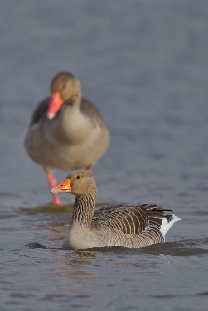 Graugans, Wasservogel, NABU