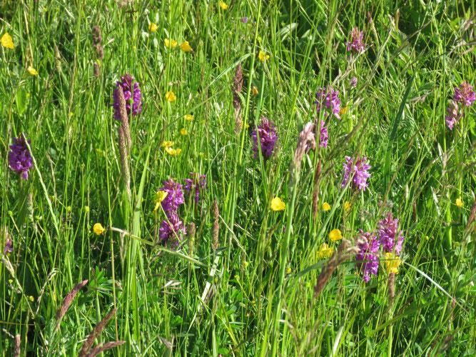 Orchideen, Peenemünde, NABU Insel Usedom, Insel Usedom, Usedom