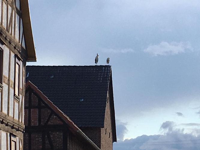 20.06.2019 Das Erbenhäuser Weißstorchpaar auf einem Scheunendach - Foto: Ludolf Hoffmann