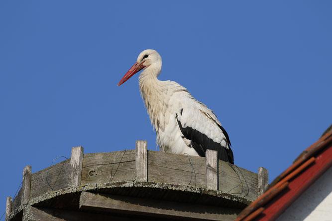 30.März: Ein neuer Weißstorch besetzt das Nest in der Egerstr. 10 - Foto: Stefan Wagner