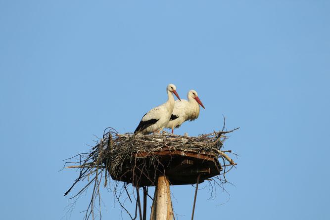 06.05.2019 Weißstorchpaar auf dem Nest in Erbenhausen - Foto: Stefan Wagner