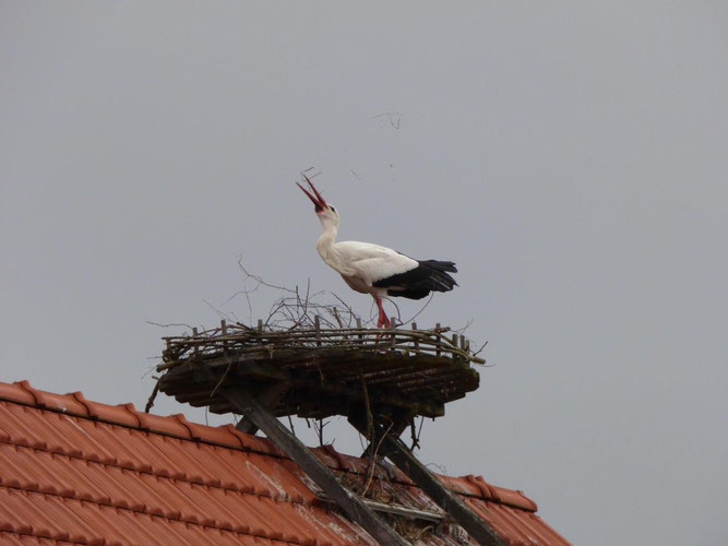 27. März: Das Nest in Ebsdorf scheint wohl endgültig von Libi und ihrem Neuen Partner besetzt worden zu sein! - Foto: Miriam Wagner