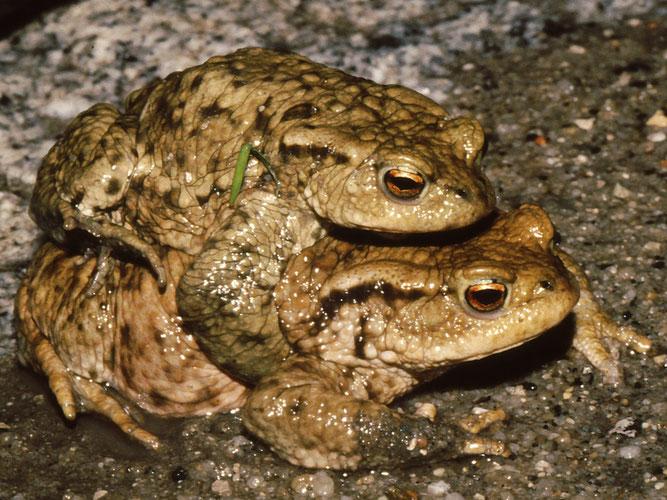 Erdkröten-Paar auf dem Weg zum Windgefällweiher
