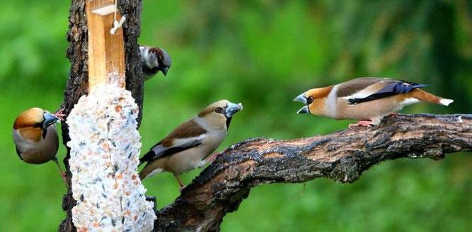 Vogelfütterung von Kernbeißern © www.birdsandpeople.de