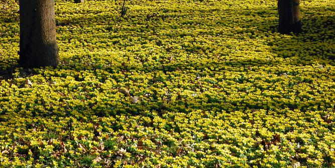 Blühende Winterlinge setzen einen leuchtend gelben Akzent gegen tristes Wintergrau. (Bild: Roswitha Pitsch, NABU)