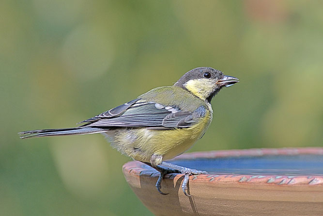 Das tut gut! Eine Kohlmeise erfrischt sich an einer Vogeltränke. (Bild: Rita Priemer, NABU)
