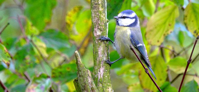 Blaumeise am Baum | Foto: Thomas Munk