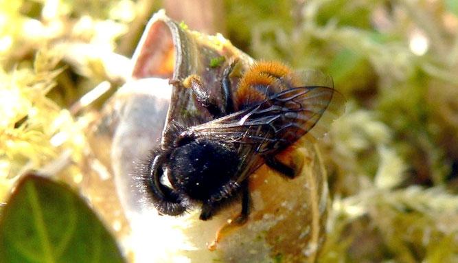 Ein Zweifarbiges Mauerbienen Weibchen inspiziert ein Schneckenhaus | Bild: Rainer Michalski