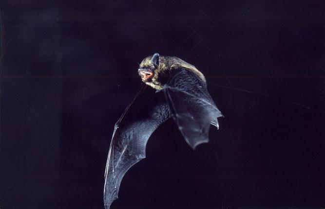 Zwerfledermaus bei der Jagd (Bild: Francois Schwab)