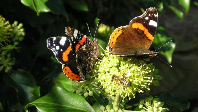 Zwei Admiral-Falter und eine Honigbiene saugen Nektar an einem Efeu-Blütenstand. (Bild: Rüdiger Weis, NABU)