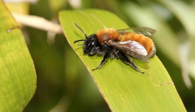 Rotpelzige Sandbiene (Andrena fulva) | Foto: Helge May
