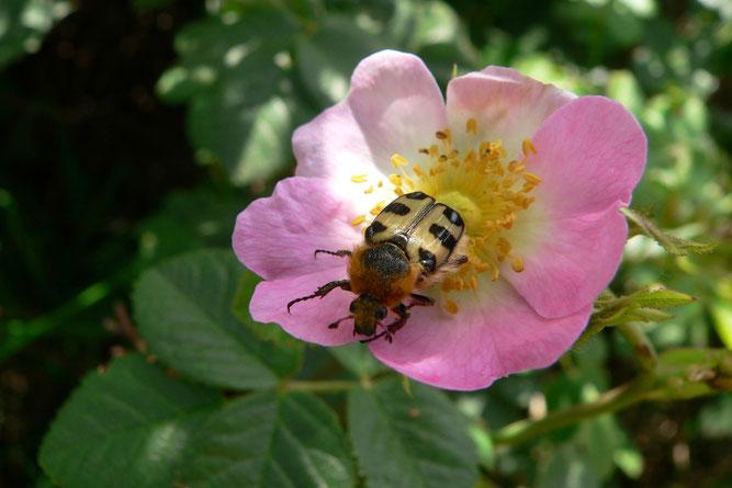 Pinselkäfer auf Wildrosenblüte | Bild: Rainer Michalski