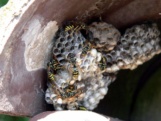 Gut erkennbar beim Nest der Feldwespe: Die sichtbaren Waben (Bild Rainer Michalski/NABU)