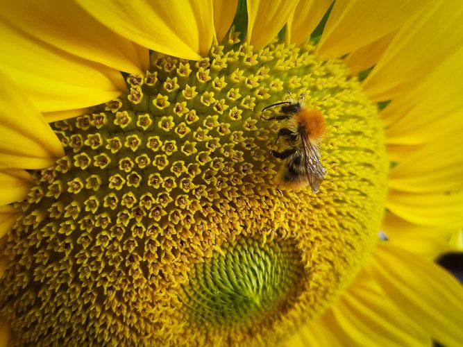 Platz 1: Ackerhummel auf Sonnenblume von Nika Ohl (7 Jahre), aufgenommen in Bingen
