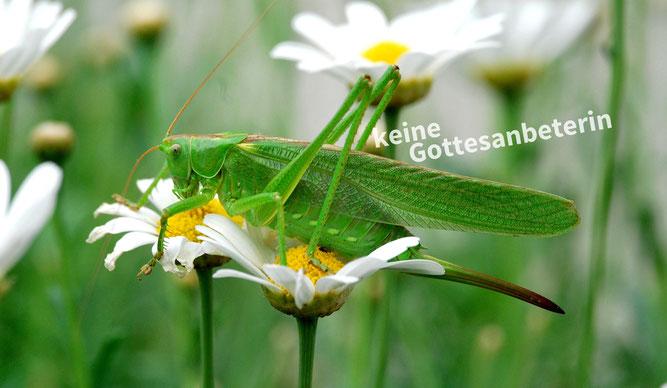 Achtung Verwechslungsgefahr: Grünes Heupferd | Foto: Heinz Abbel
