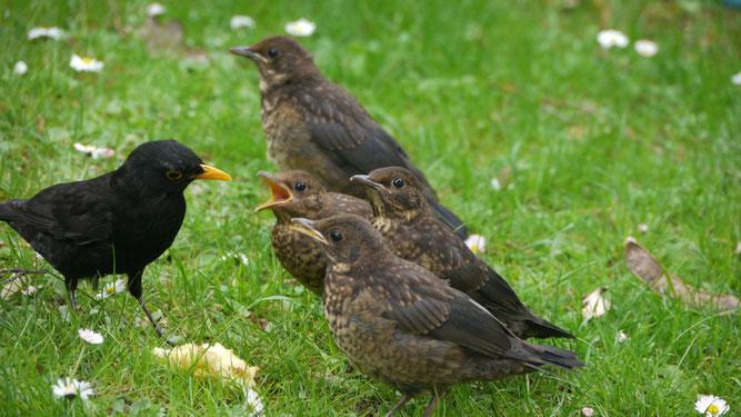 So sieht man es selten: Junge Amseln werden vom Vater gefüttert. In der Regel verteilen sich die Jungvögel, um das Risiko einer Entdeckung zu minimieren. Bild: Annelies Klotz, NABU