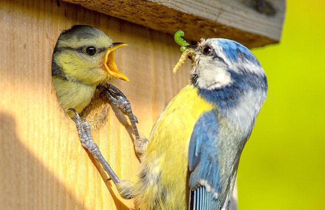 Blaumeise füttert ihr Junges am Nistkasten | Foto: Rita Priemer