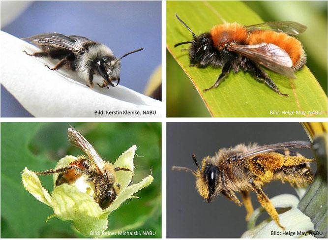 In Deutschland leben mehr als 100 Arten von Sandbienen. Sie alle nisten in selbst gegrabenen Nestern im Erdboden und leben solitär. Von links nach rechts: Weiden-Sandbiene, Rotpelzige Sandbiene, Zaunrüben-Sandbiene, Gemeine Sandbiene.