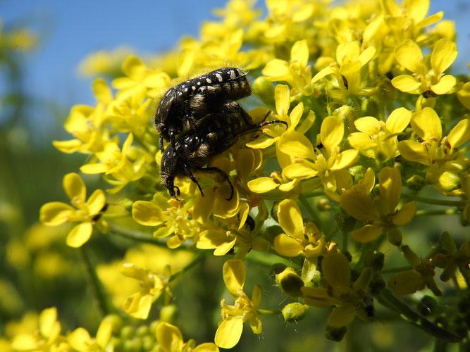 Trauerrosenkäfer. Foto: S. Löw
