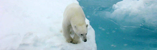 Der Eisbär ist wie kaum eine andere Tierart durch den Klimawandel bedroht (Foto: Kathy Crane, NOAA Arctic Research Program)