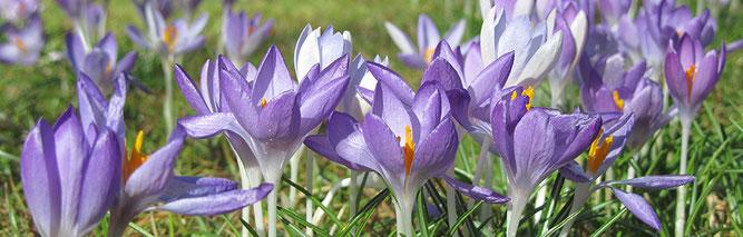 Krokusblüte in Thieles Garten (Foto: Kenneth Witt)