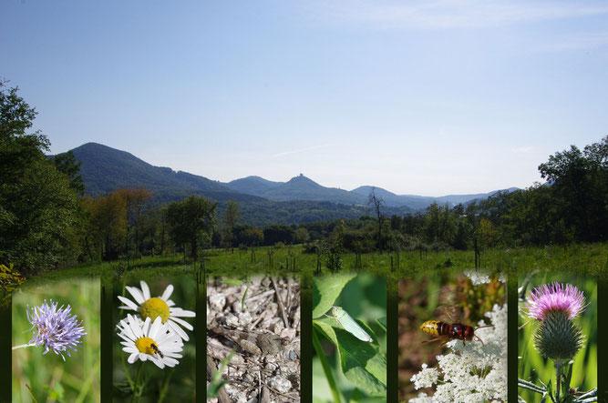 Streuobstwiese Albersweiler