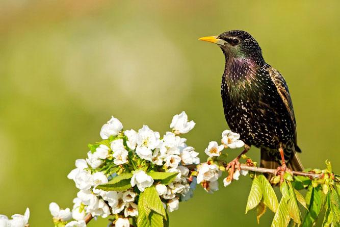 Der Star - Vogel des Jahres 2018   Foto: M. Schäf