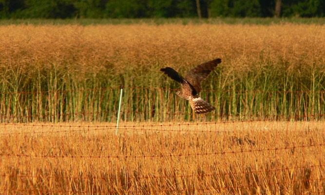 Wiesenweihe im Getreidefeld. Foto: Heiko Rebling