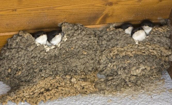 Mehlschwalbennester werden an den Außenwänden angelegt. (Foto: Anita Hatlapa)