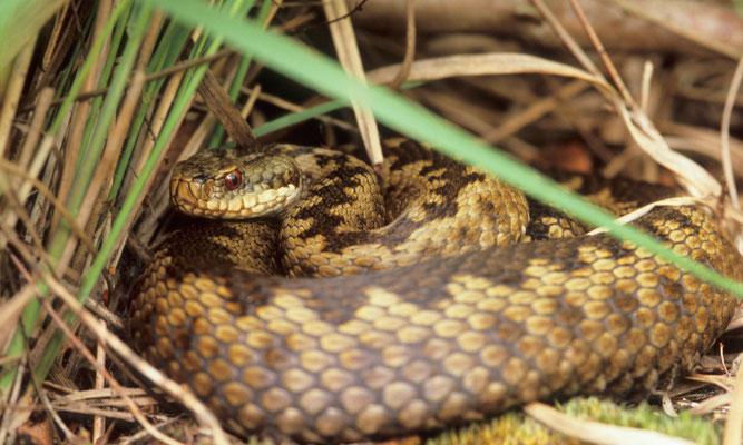 Moorschutz, Reptilien
