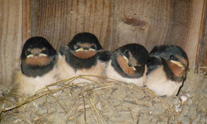 Schwalbenschutz, Nistplätze, Vogelschutz