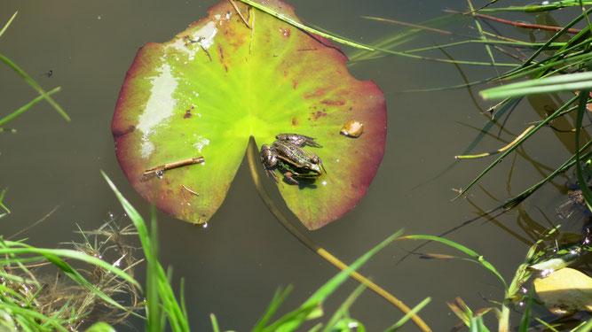 Teichfrosch im Elmensee Foto: T. Siebel