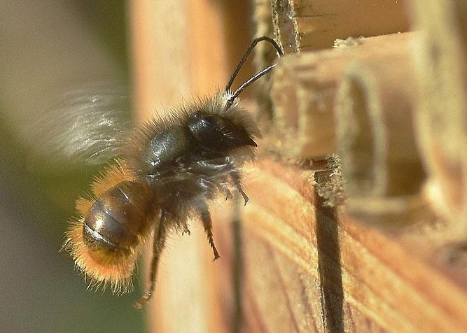 Mauerbienen Nistplätze Brutplätze NABU Düren Die Natur im Kreis Düren